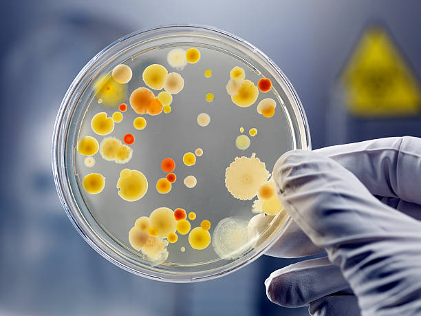 gloved hand holding petri dish with bacteria culture - microbiology stock pictures, royalty-free photos & images