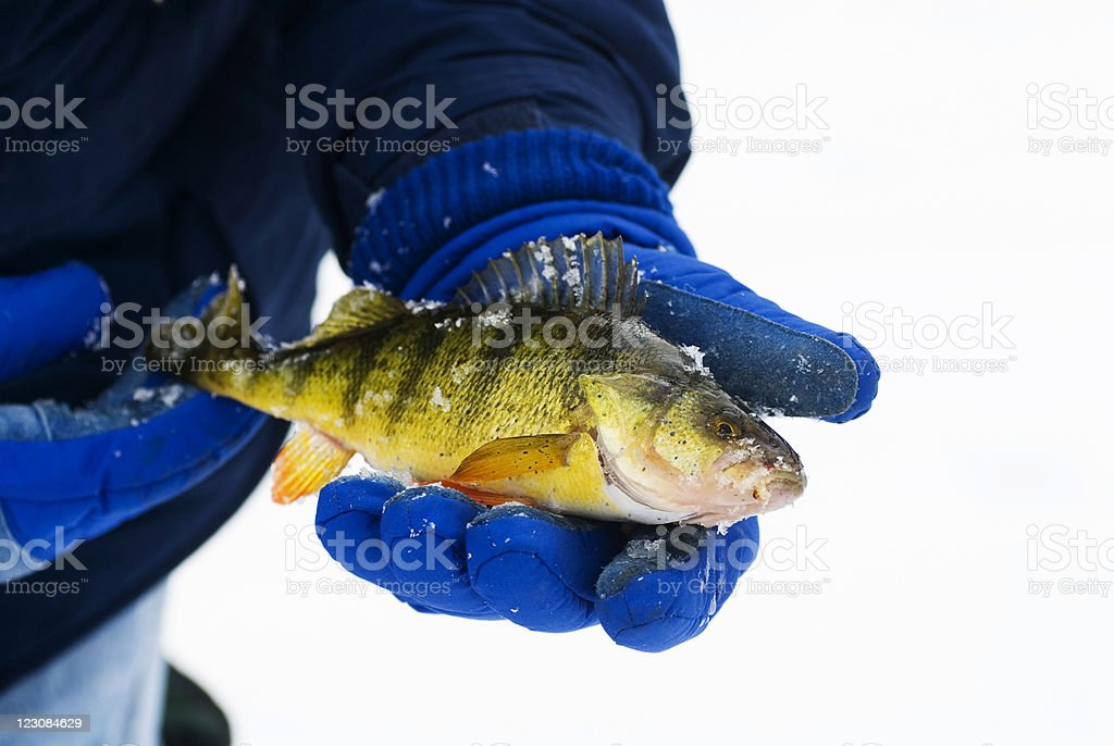 Gloved Hands Holding Perch royalty-free stock photo