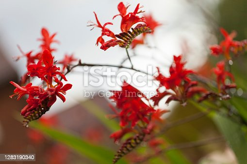 Crocosmia in flower , a glowing fiery red flower.A common name for Crocosmia is Montbretia.