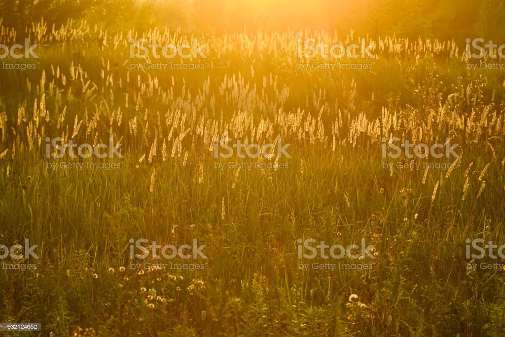 Glowing grass with sunset light stock photo