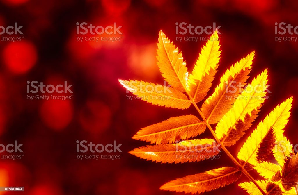Glowing leaf autumn colors royalty-free stock photo