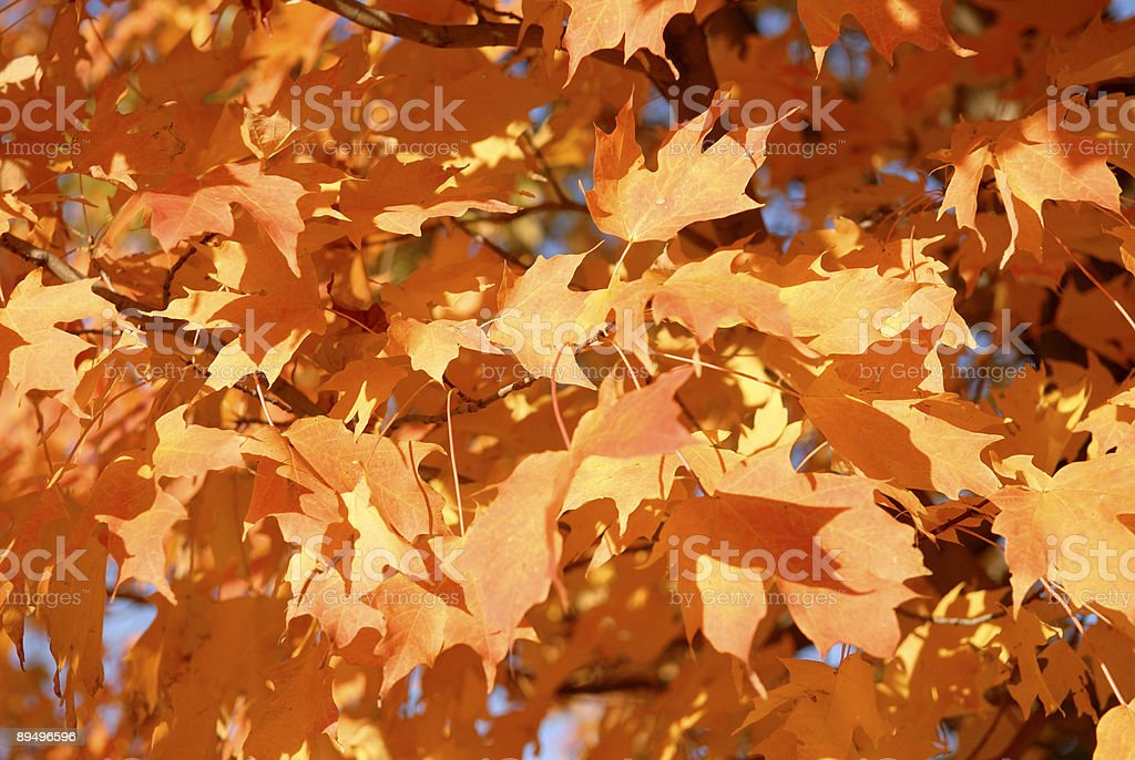 Glowing Leaves royalty free stockfoto