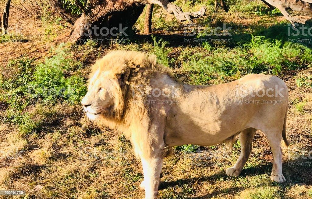 Glowing Lion zbiór zdjęć royalty-free