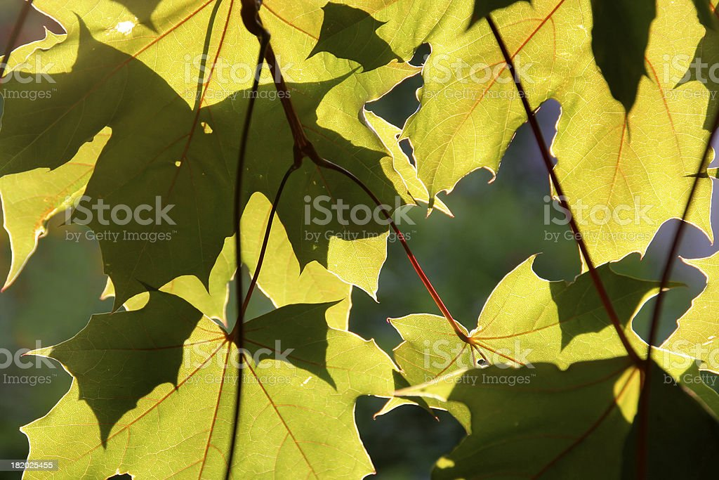 Glowing Maples Leaves royalty-free stock photo