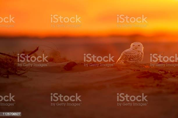 Glowing snowy owl picture id1125706527?b=1&k=6&m=1125706527&s=612x612&h=4eudlthxyou cnsbnbmddjosviqrou6zwvwn6ujgkxy=