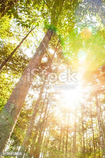 Glowing sun shines on the tropical forestry plantations on summer morning, bright sunbeam ray shining through the branches of trees. Agriculture, farming. Chachoengsao, Thailand.