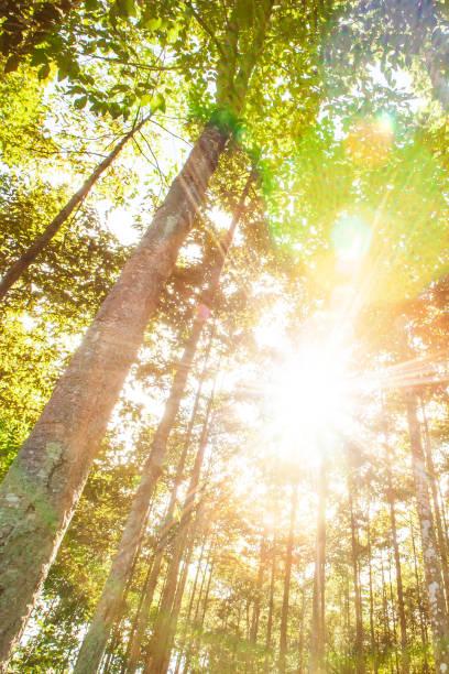 Le soleil éclatant brille sur les plantations forestières tropicales le matin d'été, rayon de soleil lumineux brillant à travers les branches des arbres. - Photo