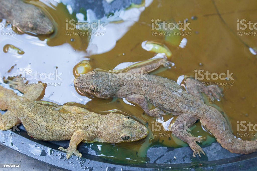 Glue trap with lizard stock photo