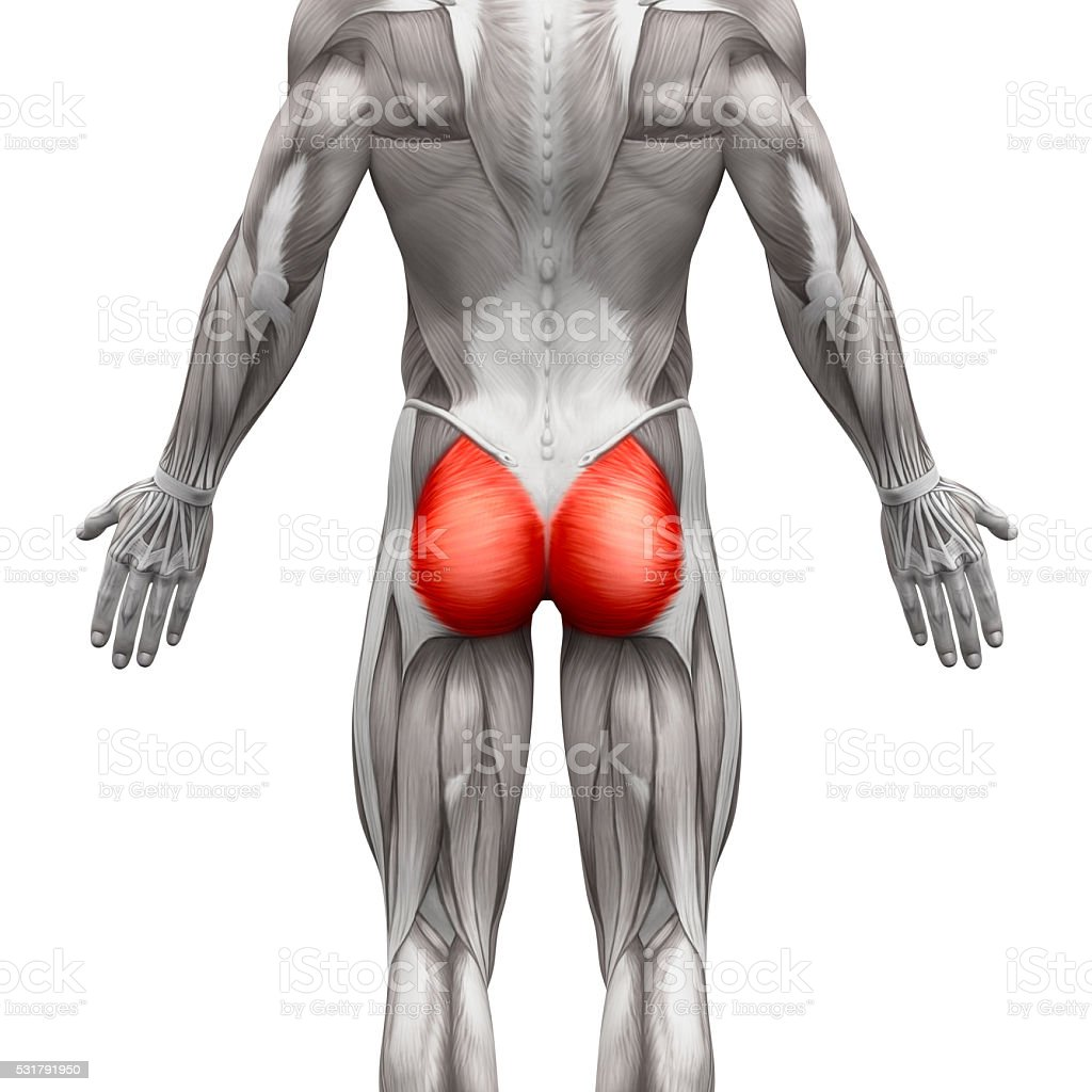 Gluteal Muscles / Gluteus Maximus - Anatomy Muscles isolated Gluteal Muscles / Gluteus Maximus - Anatomy Muscles isolated on white - 3D illustration Anatomy Stock Photo