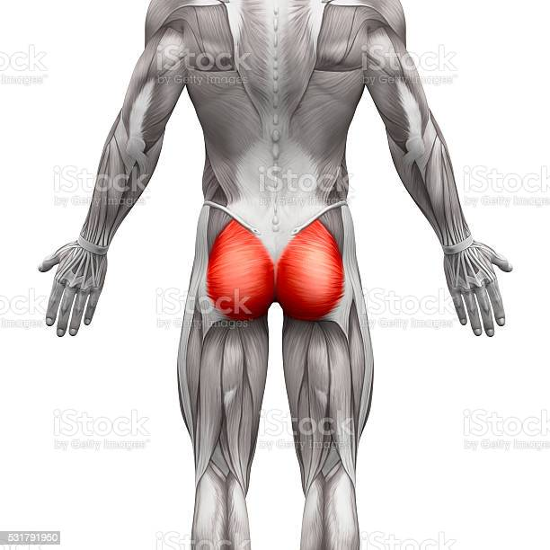 Gluteal Muscles Gluteus Maximus Anatomy Muscles Isolated Stock Photo - Download Image Now