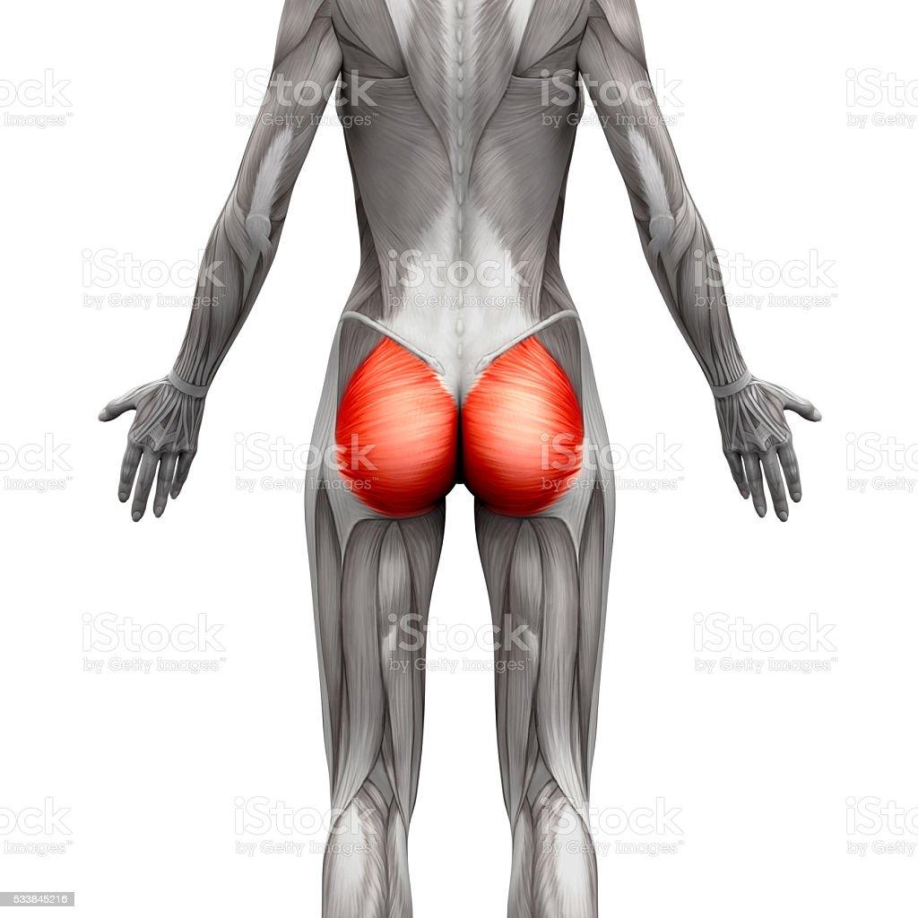 Gesäßmuskel Muskelngluteus Maximusanatomie Muskeln Isoliert Stock ...