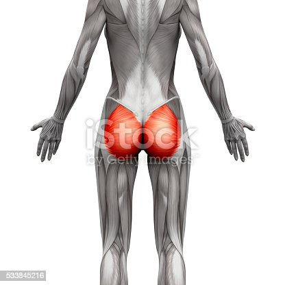 istock Gluteal Muscles / Gluteus Maximus - Anatomy Muscles isolated 533845216