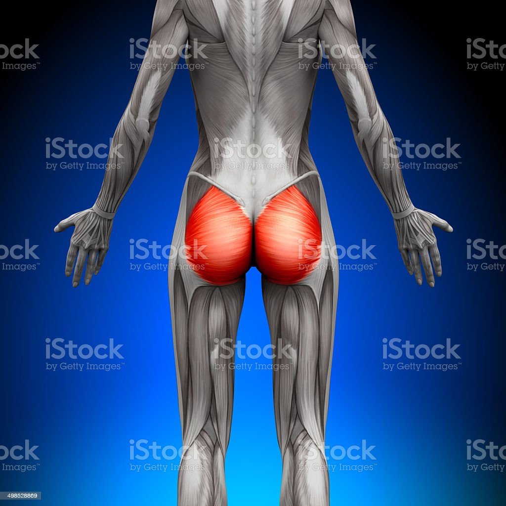 Glutes / Gluteus Maximus - Female Anatomy Muscles stock photo