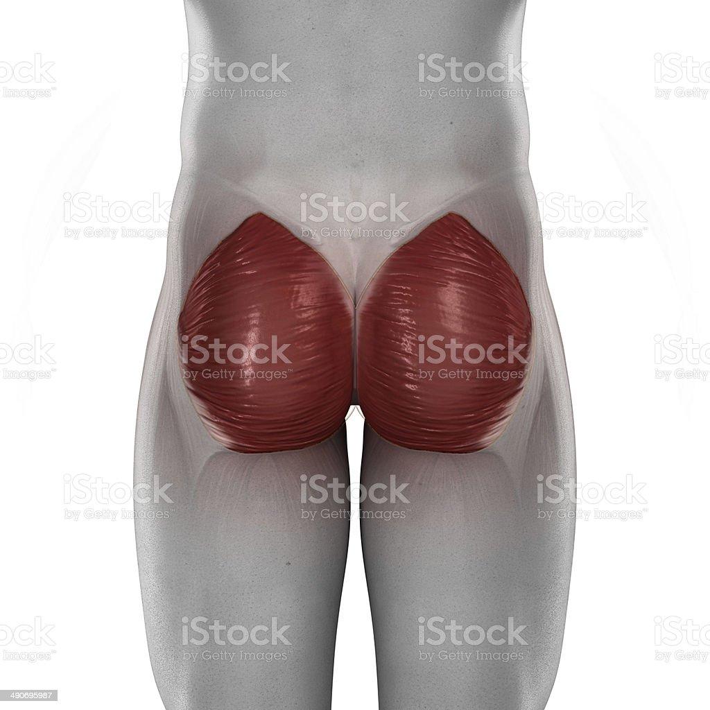 Gluteus Maximus Männliche Muskeln Anatomie Isoliert Hintere Blick ...
