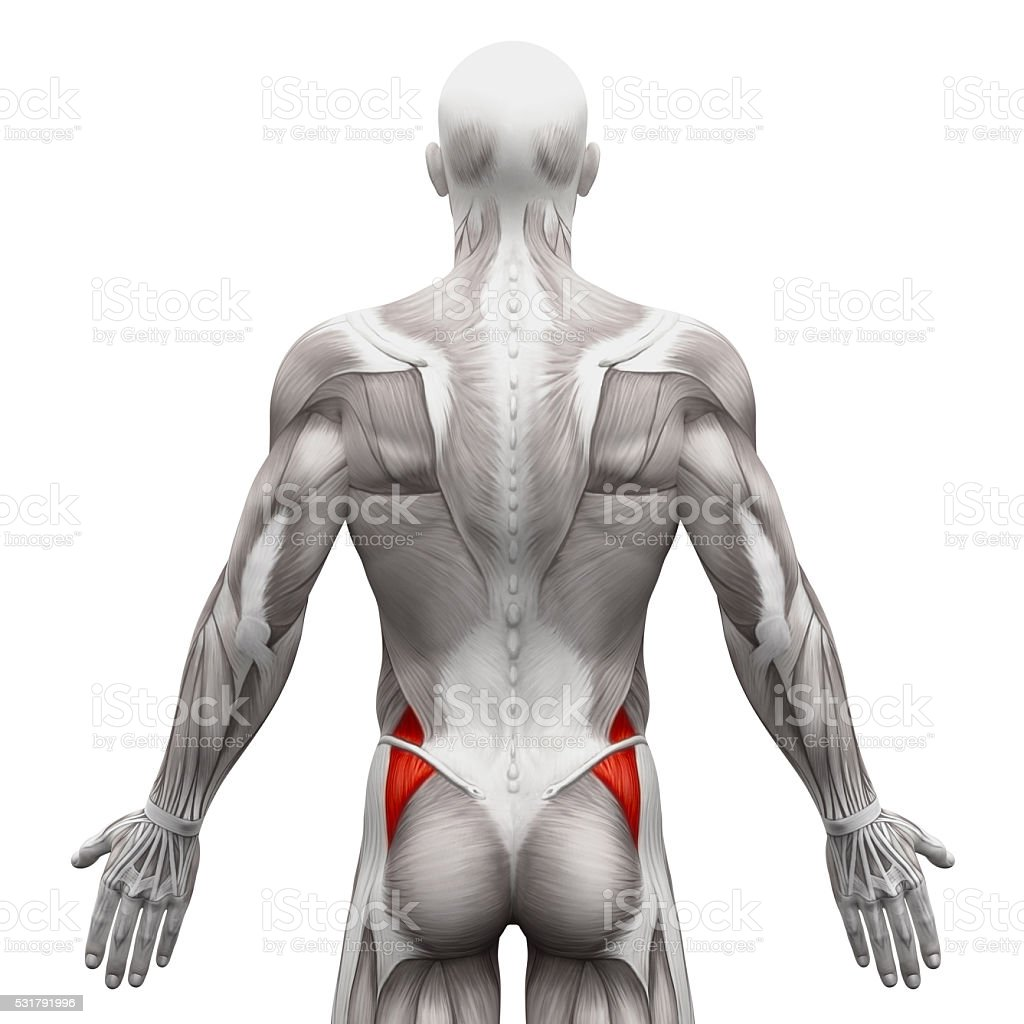 Gluteus Medius Anatomy Muscles Isolated On White Stock Photo More