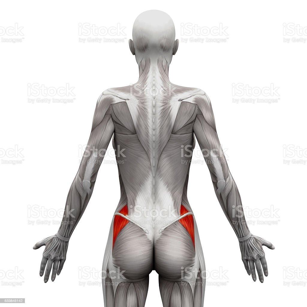 Gluteus Medius - Anatomy Muscles isolated on white Gluteus Medius - Anatomy Muscles isolated on white - 3D illustration Anatomy Stock Photo