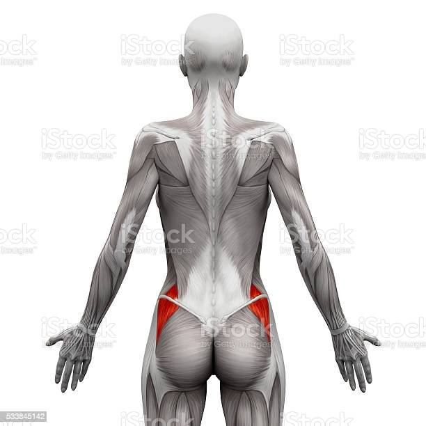 Gluteus Medius Anatomy Muscles Isolated On White Stock Photo - Download Image Now