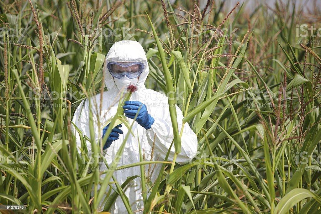 GMO,professional examining corn cob on field stock photo