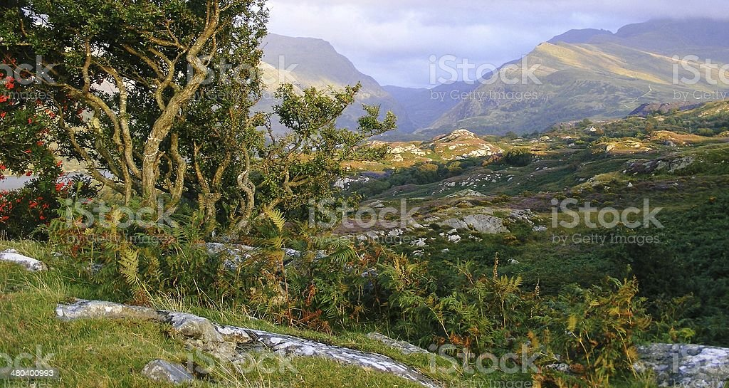 Gnarled bush and Mountains stock photo