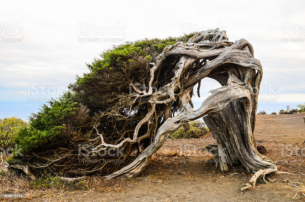 Gnarled Juniper Tree Shaped By The Wind stock photo