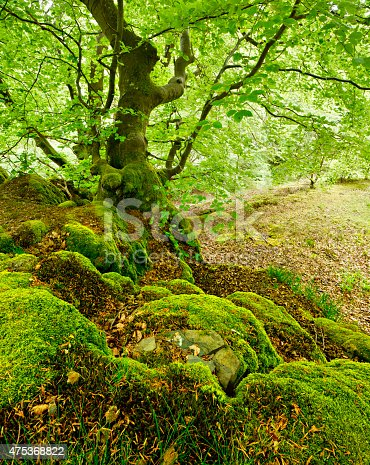 Gnarled Old Beech Tree on Moss Covered Rocks in Forest