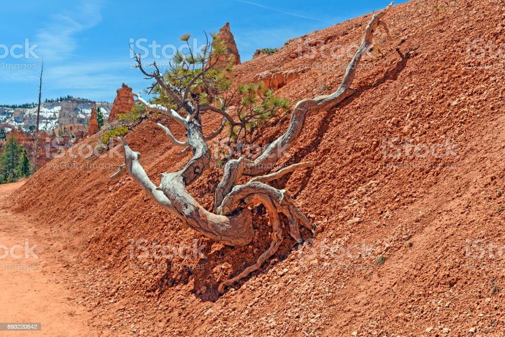 Gnarled Tree Along a Canyon Trail stock photo