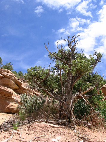 istock Gnarled Tree and Blue Sky 90692228