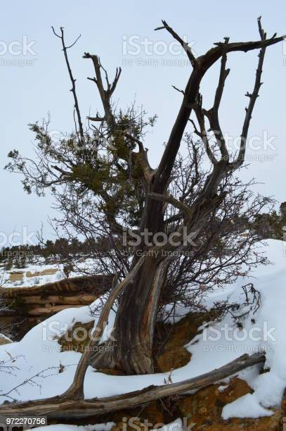 Gnarled tree in snow
