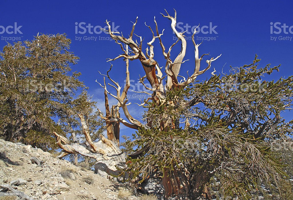 Gnarled Trunk of Ancient Bristlecone Pine Tree royalty-free stock photo