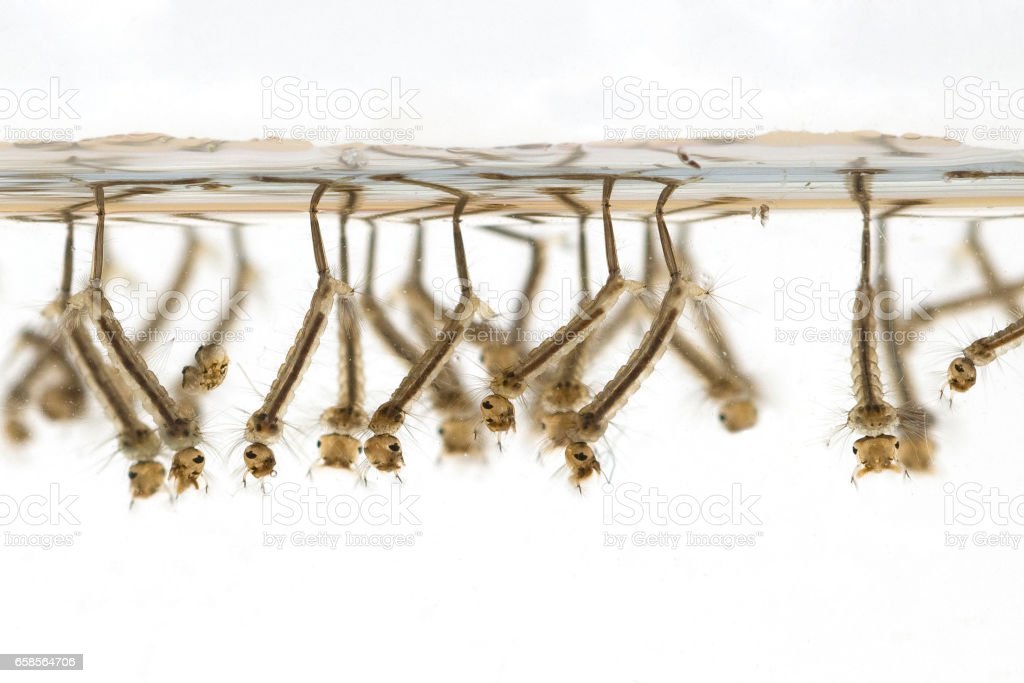 gnats; mosquitoes; larvae stock photo