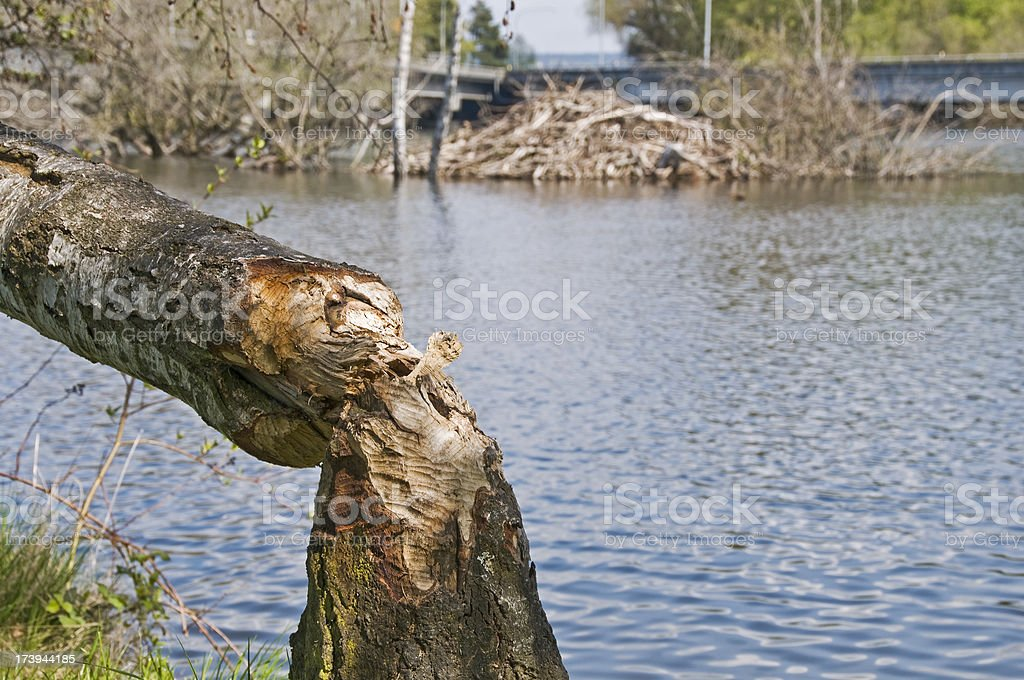 Gnawed tree and beaver dam stock photo