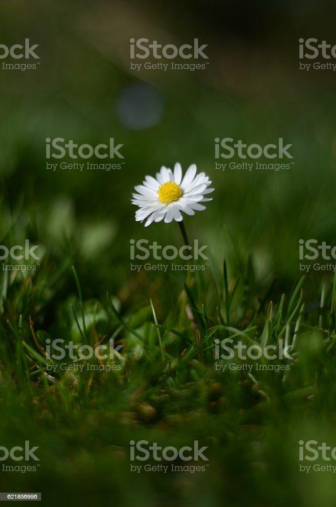 Gänseblümchen stock photo