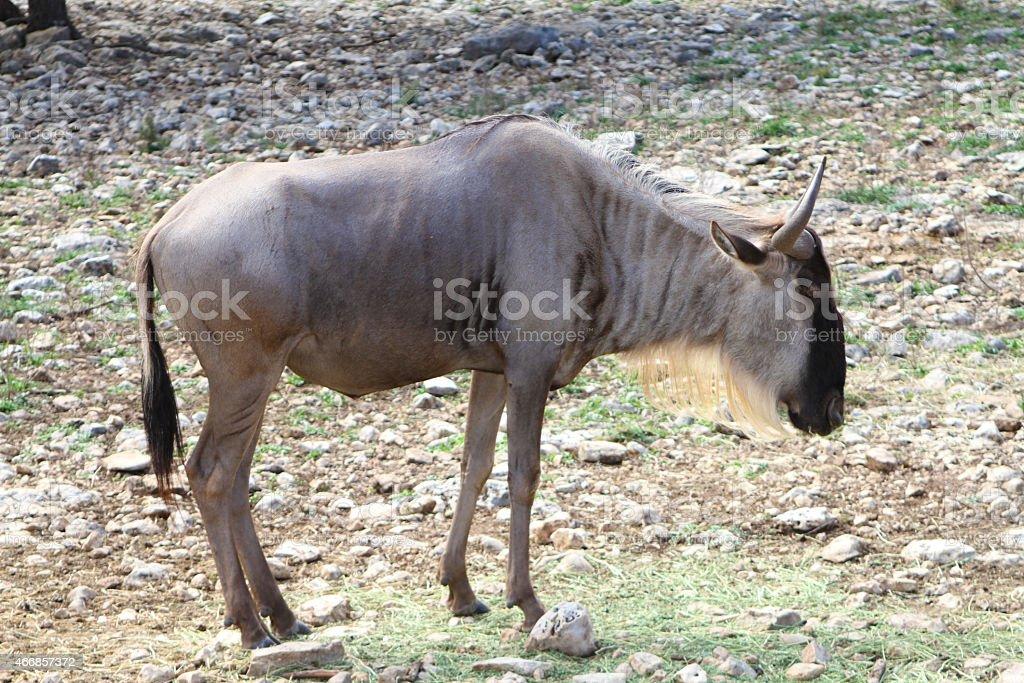 Gnu Wildebeest stock photo