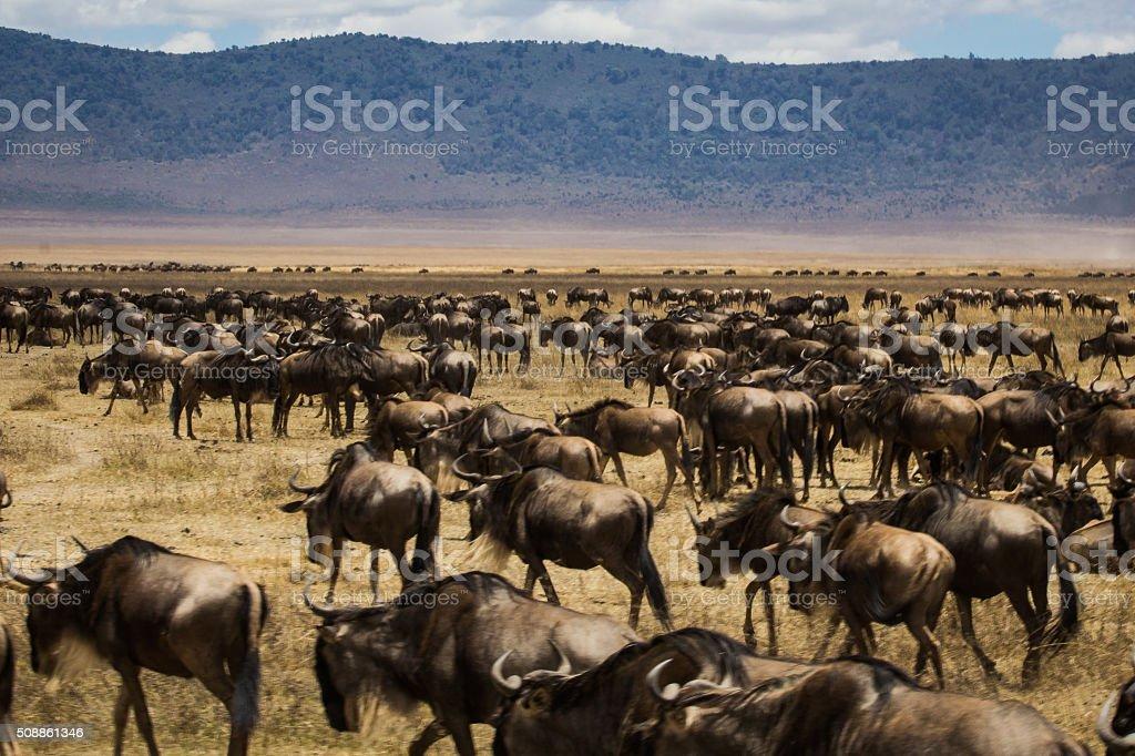 Gnus migration in Africa stock photo