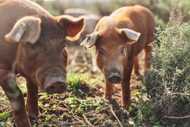 Go pig or go home stock photo