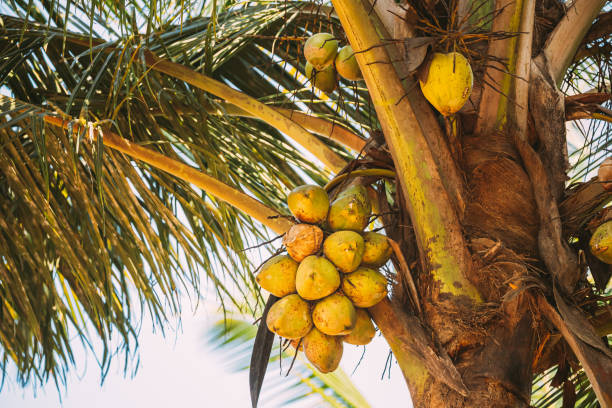 Goa, India. Close View Of Fruits Of Coconut Tree Palm stock photo