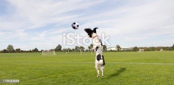 Fun photo of springer spaniel leaping into the air after football on football field in Shrewsbury Shropshire.