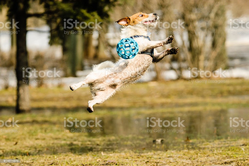 Goalkeeper catching ball. Dog playing at spring park. stock photo