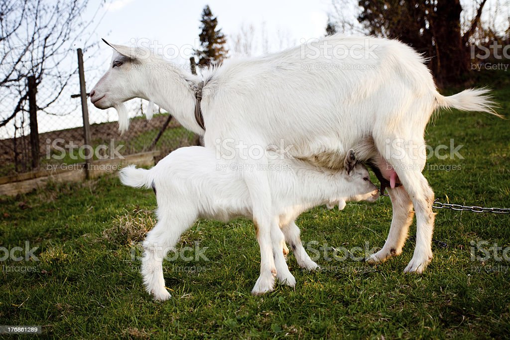 Goat and goatling royalty-free stock photo