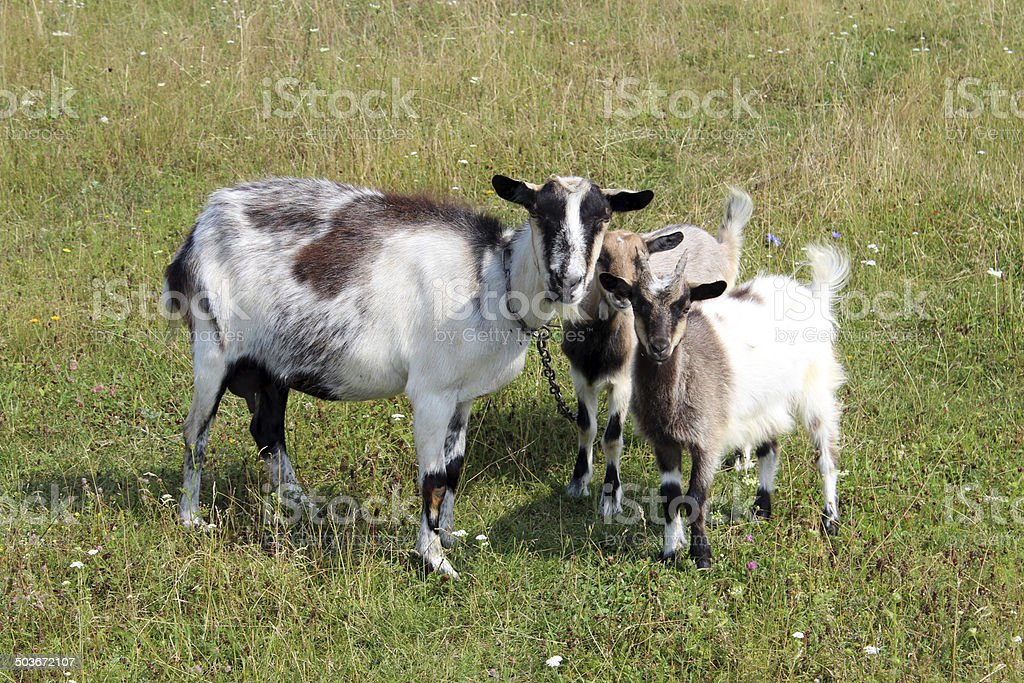 Goat and kids on a pasture royalty-free stock photo