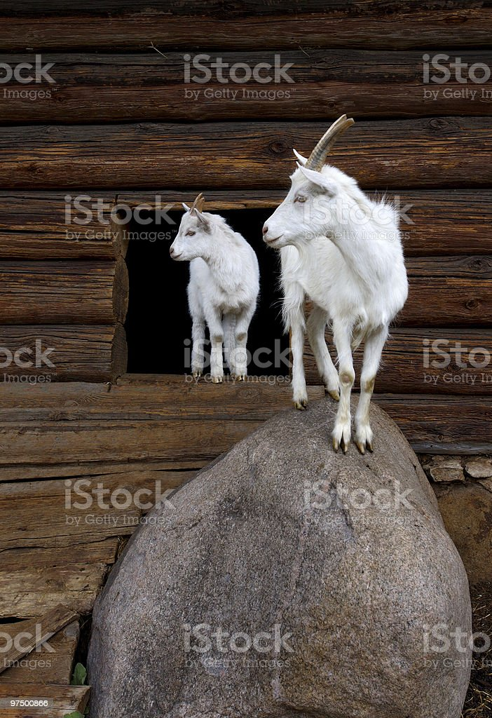 Goat and the kid royalty-free stock photo