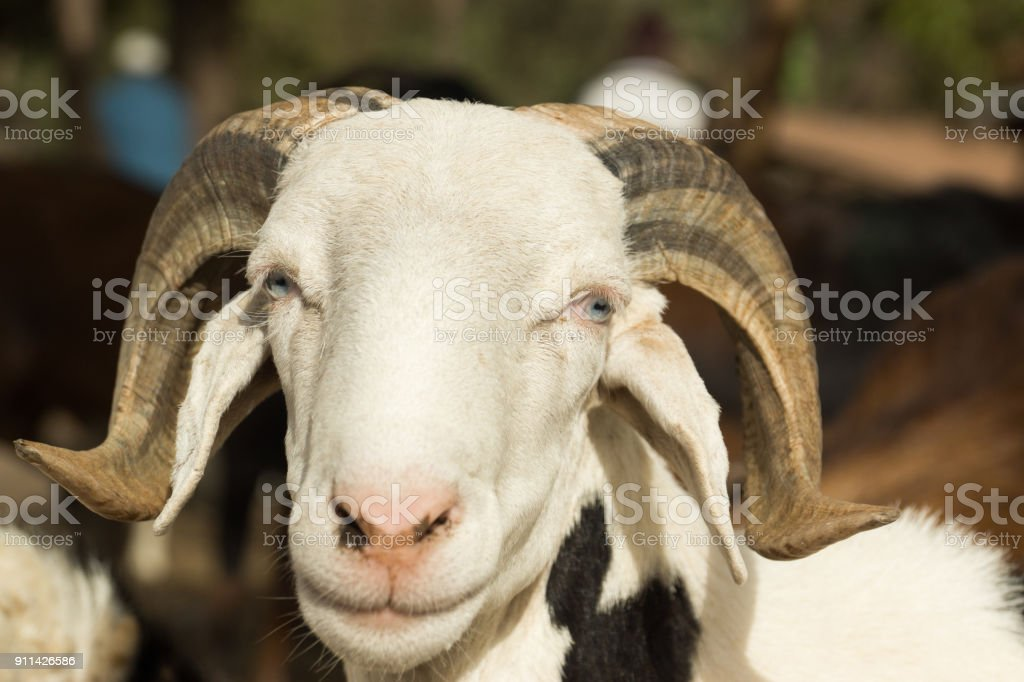 A goat at market in Gambia stock photo