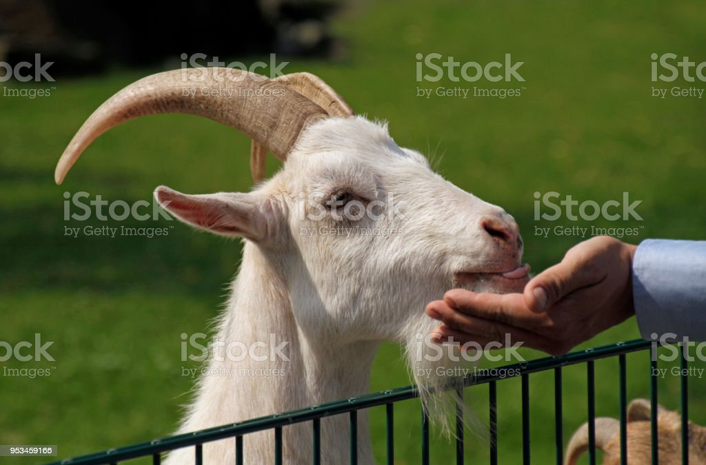 Goat at petting zoo being fed