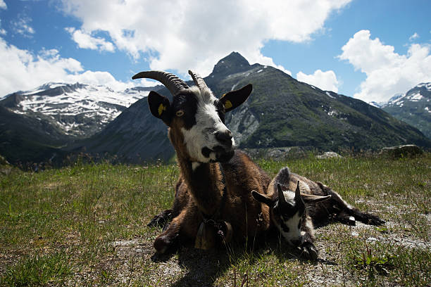 Goat at the Koelnbrein Dam, Carinthia, Austria – Foto