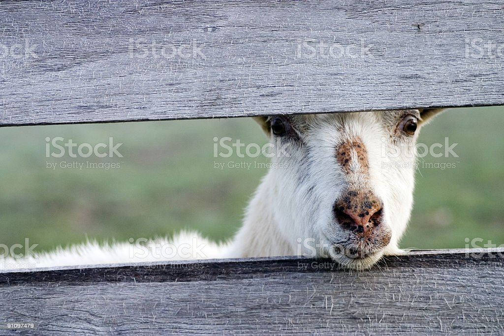 Goat at Wooden Fence stock photo