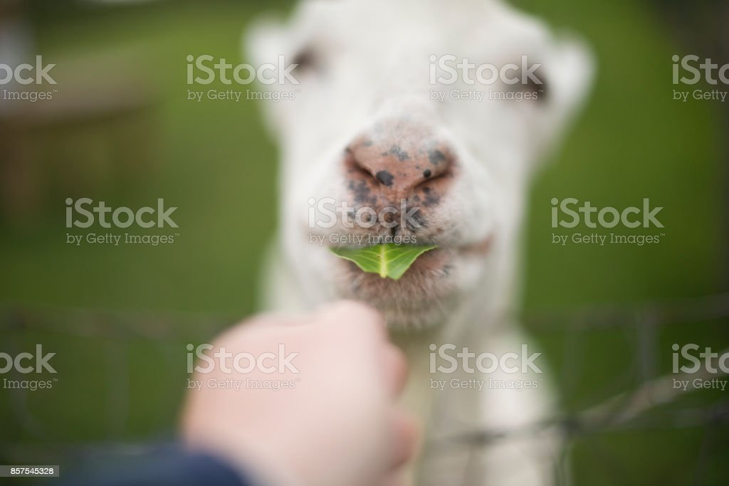 Goat being hand fed in field royalty-free stock photo