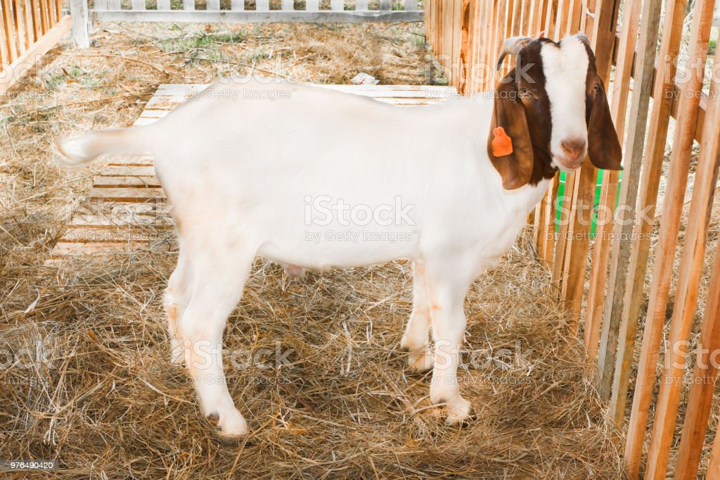 Goat Breeds Boer Stock Photo - Download Image Now - iStock