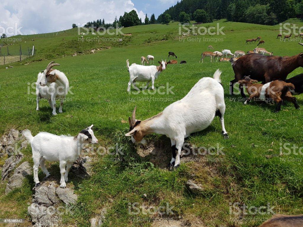Goat, Capra, animal stock photo