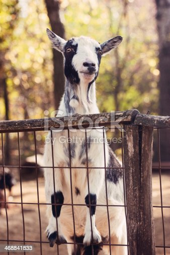 istock Goat climbed on the fence 468841833