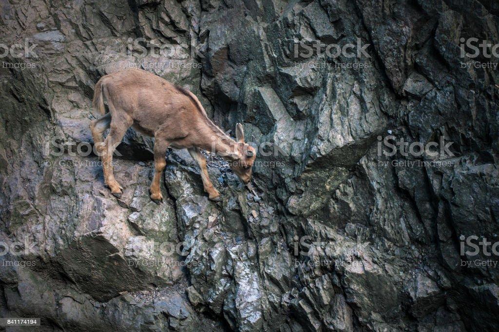 Goat climbing in rock mountains stock photo